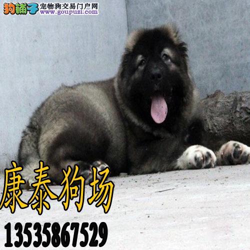 高加索犬缩略图