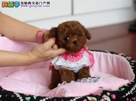 犬舍繁殖贵宾犬,包纯包健康,售后有保障