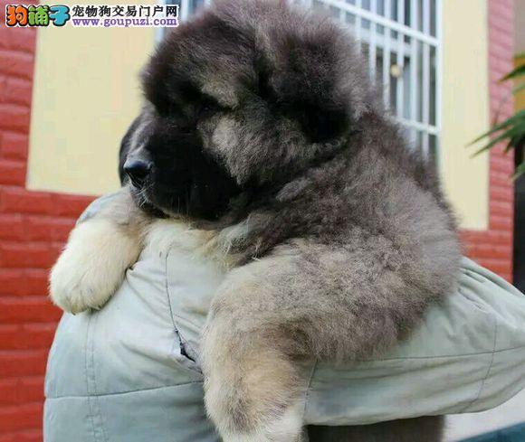 出售纯种熊版大头版大骨架好毛量高加索幼犬多只选