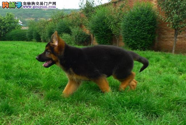 专业养殖高品质德国牧羊犬帅气十足健康活泼可上门