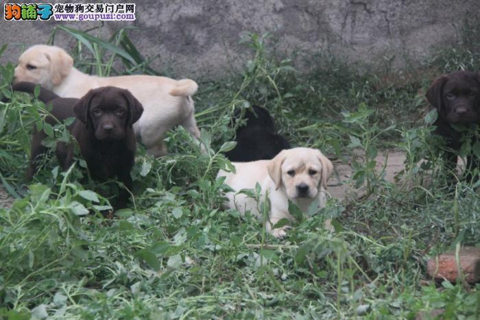 纯种忠实聪明拉布拉多导盲犬出售 公母均有 活泼