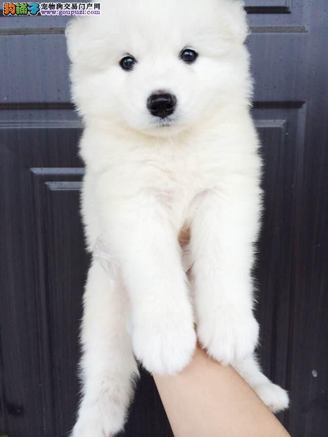 微笑天使萨摩耶幼犬出售 健康可签协议 特价优惠