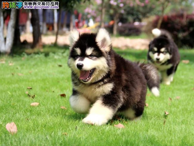 繁殖基地出售纯种 阿拉斯加幼犬批发零售均可包