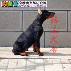 最大的正规杜宾犬繁殖基地、保健康、可全国托运2