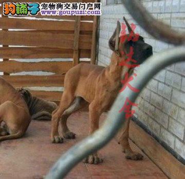 正规大丹犬繁殖基地、品质保障、全国办理托运3