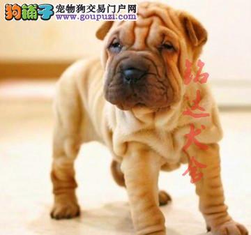 北京最大的沙皮犬繁殖基地、保障健康、保证纯度2