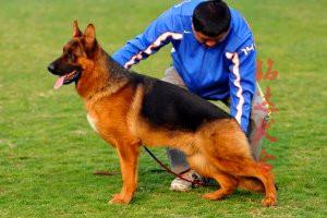 最大的狼狗繁殖基地、品质保障、全国办理托运4