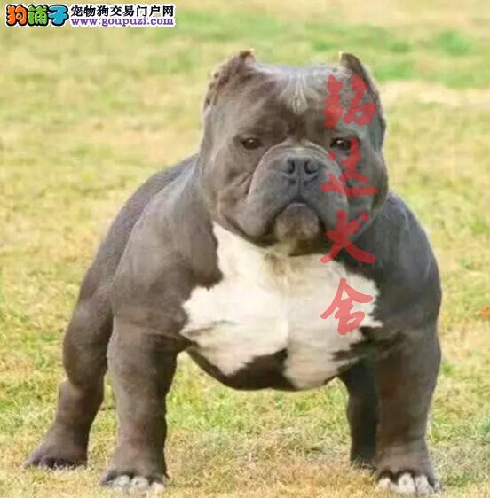 北京最大的恶霸犬繁殖基地、保纯度保健康、可签协议4