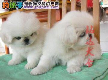正规京巴犬繁殖基地、保障健康、可全国托运3