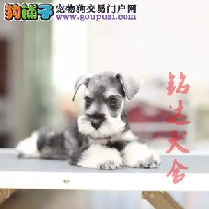 北京正规雪纳瑞犬舍 品质保障 诚信经营 可全国托运1