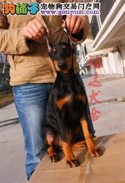 最大的正规杜宾犬繁殖基地、保健康、可全国托运3