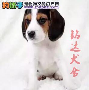 北京最大的比格犬繁殖基地、保障健康、担保纯度