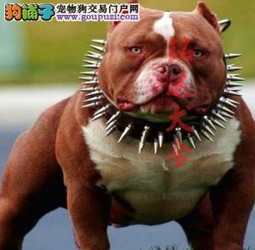 北京最大的恶霸犬繁殖基地、保纯度保健康、可签协议1