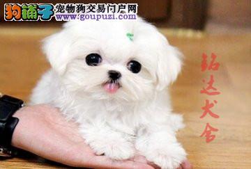 北京最大的马尔济斯犬繁殖基地、保纯度保健康3