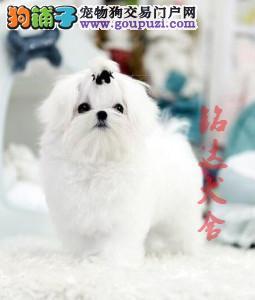 北京最大的马尔济斯犬繁殖基地、保纯度保健康