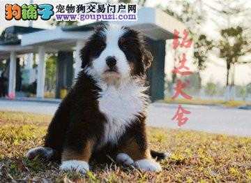 北京最大的伯恩山犬繁殖基地、保障纯度和健康3