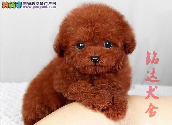顶级泰迪熊犬 保纯种健康 CKU认证犬舍 可签协议3
