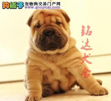 北京最大的沙皮犬繁殖基地、保障健康、保证纯度3