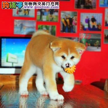 北京高品质秋田犬犬舍、保健康保纯度、可签协议