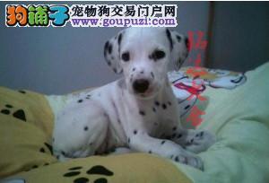 北京最大的斑点犬舍、保纯度保健康、可签协议4