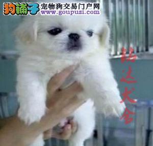 正规京巴犬繁殖基地、保障健康、可全国托运2