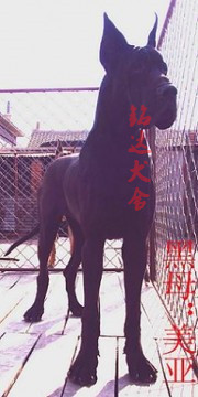 正规大丹犬繁殖基地、品质保障、全国办理托运2