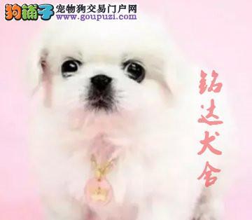 正规京巴犬繁殖基地、保障健康、可全国托运1