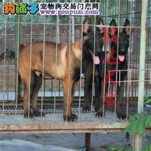 北京正规马犬繁殖基地、品质保障、可全国办理托运1