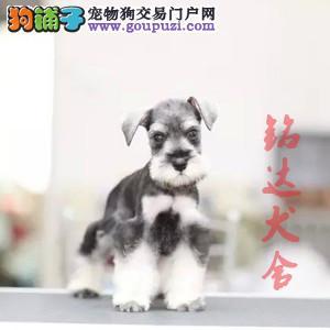 北京正规雪纳瑞犬舍 品质保障 诚信经营 可全国托运3