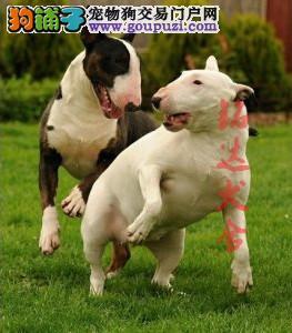 北京最大的牛头梗犬繁殖基地、品质保障、诚信经营