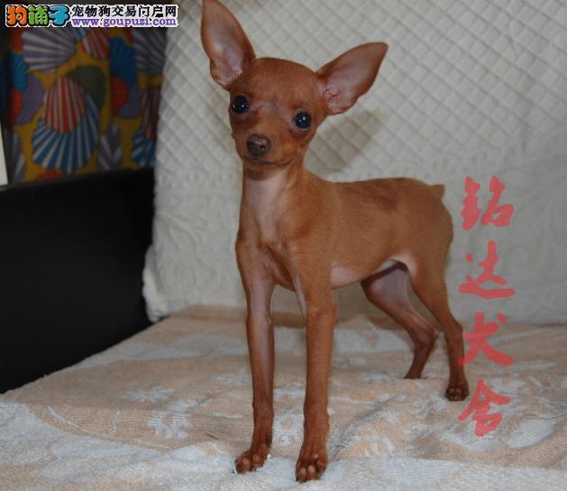 北京最大小鹿犬繁殖基地、品质保障、可全国托运2