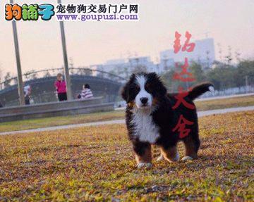 北京最大的伯恩山犬繁殖基地、保障纯度和健康1