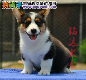 最大的柯基犬繁殖基地、保障品质、可全国办理托运1