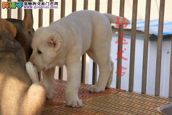 北京最大中亚牧羊犬繁殖基地、保健康、可全国托运