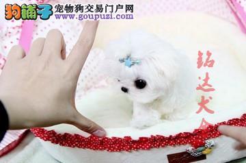 北京最大的马尔济斯犬繁殖基地、保纯度保健康2