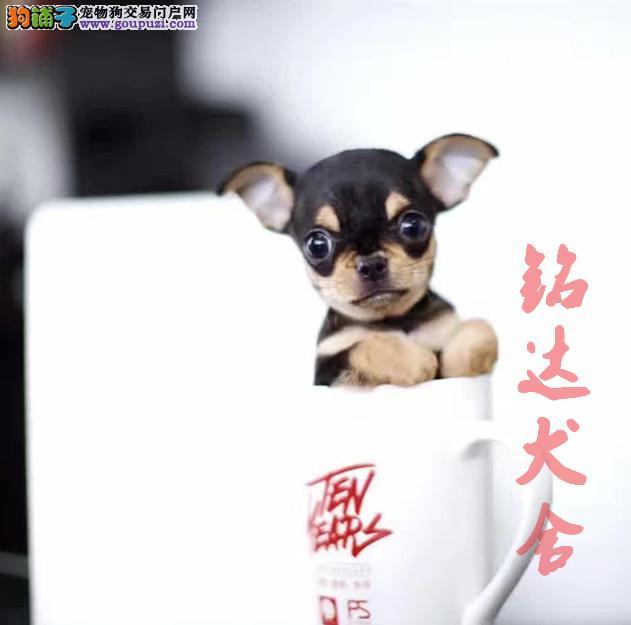 北京最大小鹿犬繁殖基地、品质保障、可全国托运
