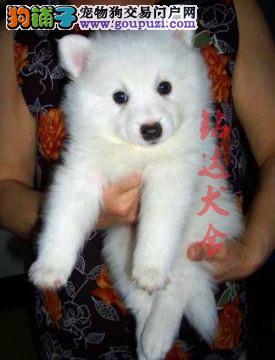北京最大银狐犬繁殖基地、保障品质、可全国托运
