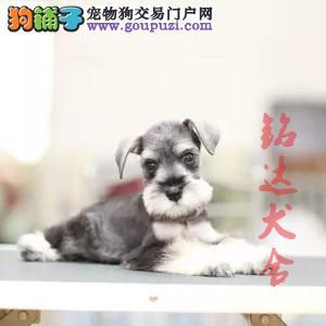 北京正规雪纳瑞犬舍 品质保障 诚信经营 可全国托运2