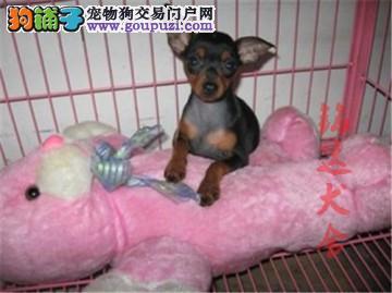 北京最大小鹿犬繁殖基地、品质保障、可全国托运3