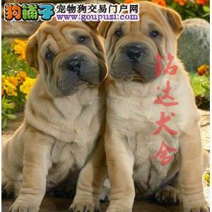 北京最大的沙皮犬繁殖基地、保障健康、担保纯度