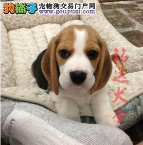 上海最大的比格犬繁殖基地、保障健康、保证纯度