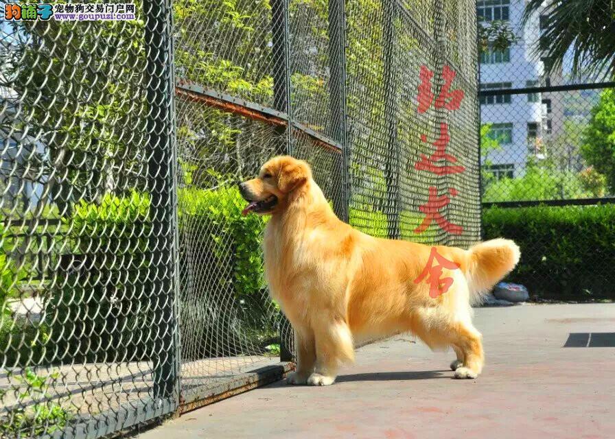 高品质金毛幼犬在售中 保纯种、健康 可签协议
