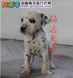 北京最大的斑点犬舍、保纯度保健康、可签协议1