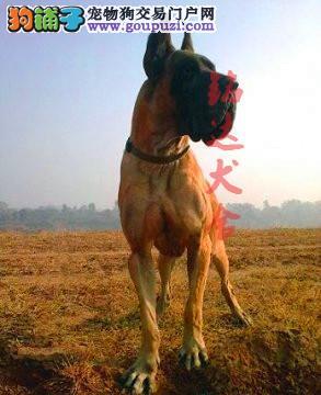 正规大丹犬繁殖基地、品质保障、全国办理托运