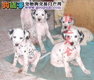 北京最大的斑点犬舍、保纯度保健康、可签协议3