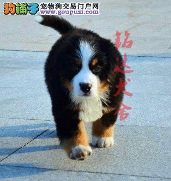 北京最大的伯恩山犬繁殖基地、保障纯度和健康2