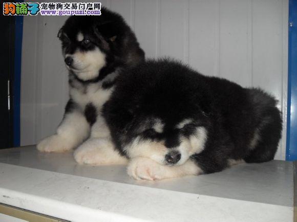 精品 阿拉斯加犬出售毛色好 血统纯正 签协议包养活