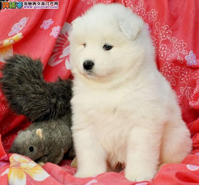 精品 萨摩耶幼犬出售毛色好 血统纯正 签协议包养活