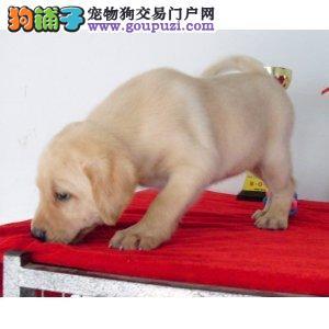 精品 拉布拉多犬出售毛色好 血统纯正 签协议包养活
