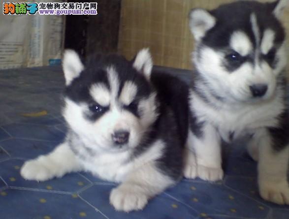 精品 哈士奇幼犬出售毛色好 血统纯正 签协议包养活